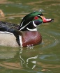 Wood Duck Reflect...