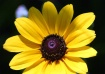 Sun Flower?