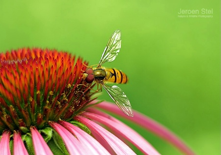 Hoverfly on Aechina Flower