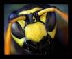 Countenance wasp