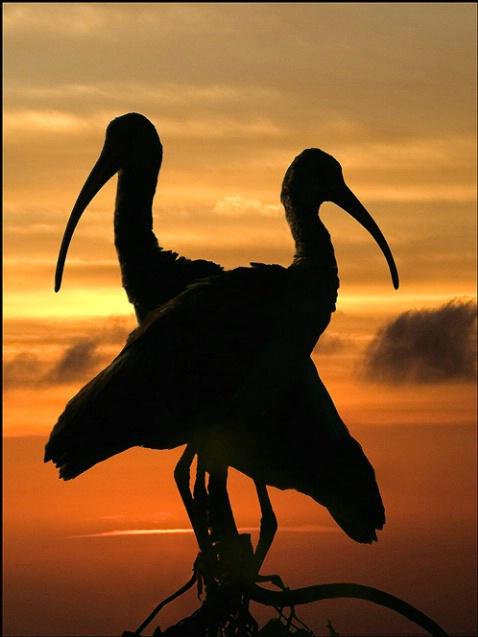 Ibis Sunset - ID: 1050052 © Sara And Dick