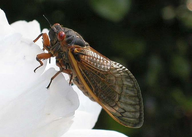 Periodic Cicada_2