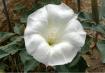 Vegas Moon Flower