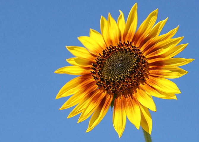 Perfect Sunflower