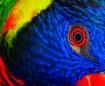 Bloodshot Birdie