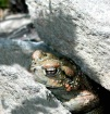 Camoed Toad