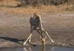Giraffe- Zimbabw�...