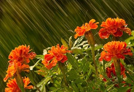 Marigolds in the Rain