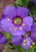 Purple Arranged