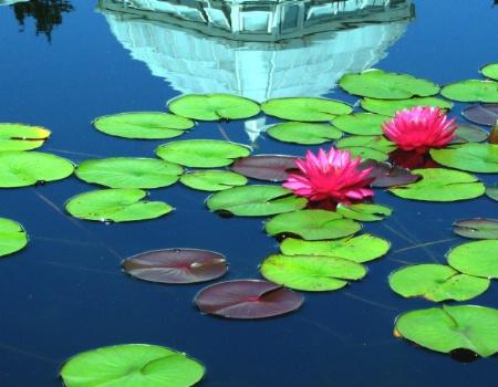 Undisturbed Floating Lotuses