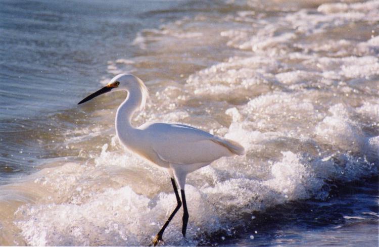 egret in surf, Sarasota, Florida