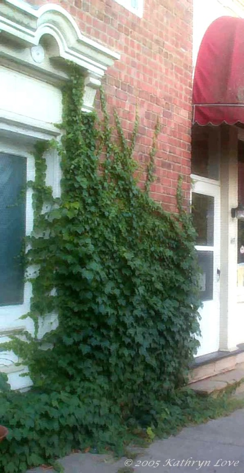 the ivy that distracts me