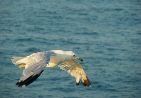 Gull in chase
