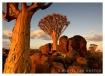 Namibian Quivertr...