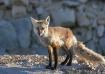 Red Fox Hues