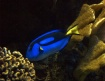 Blue Surgeon Fish
