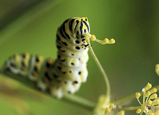 Munching Monarch Caterpillar