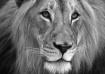 Lion's Face (...