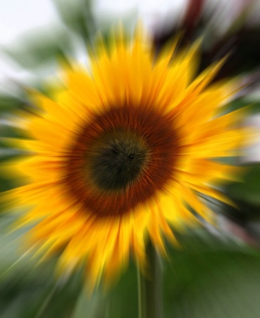 Sunflower Burst