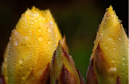 Prickly Pear Buds After Rain