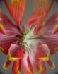 Fireflower....