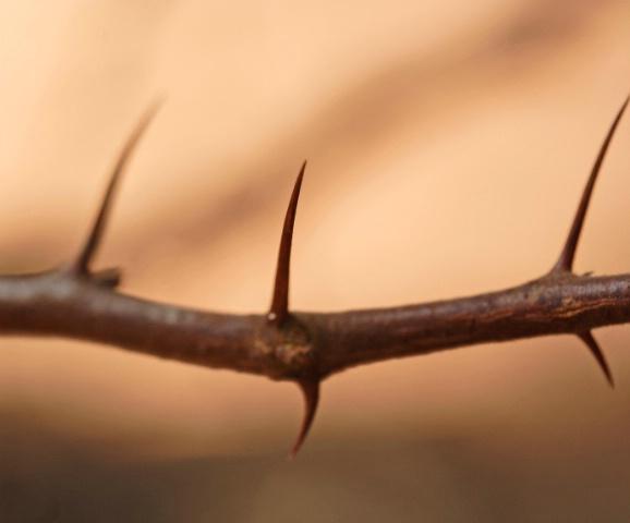 Buffalo-thorn