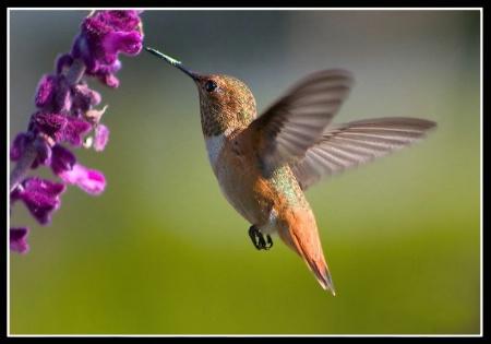 """Hummingbird Flying-Calypte anna"""" Anna"""