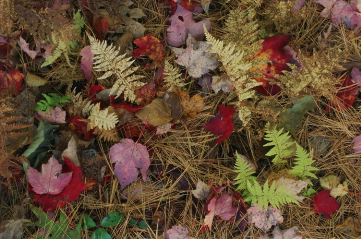 Ferns and Maple Leaves - ID: 1135324 © Nora Odendahl