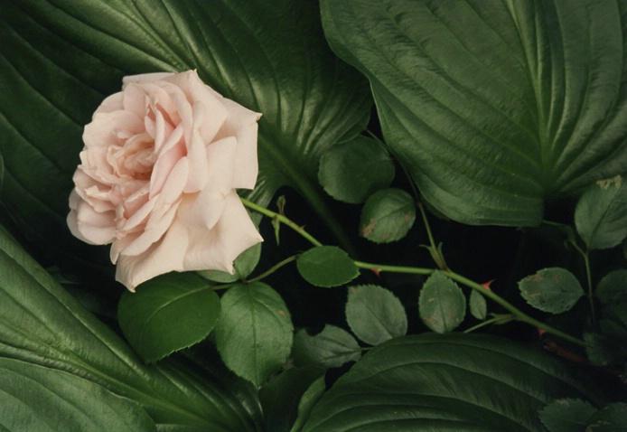Recumbent Rose - ID: 1135528 © Nora Odendahl