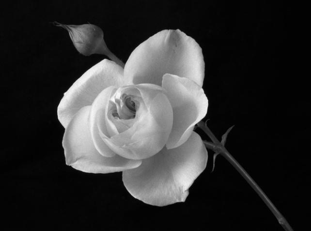 English Rose - ID: 1136476 © Nora Odendahl