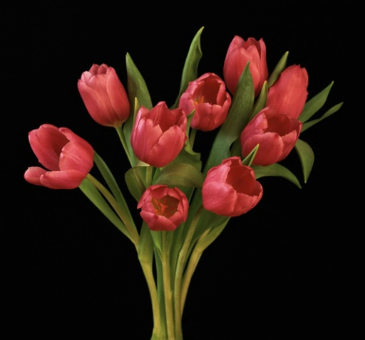 Pink Tulips - ID: 1136486 © Nora Odendahl