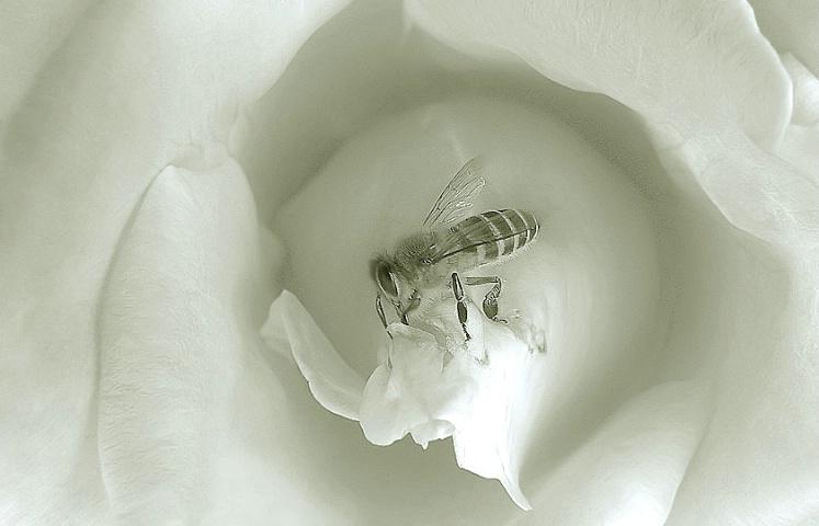 Little hairy Bee