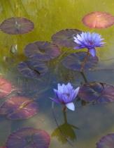Rosicrucian Peace Garden Water Lilies - RR