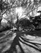 The Big Oak Tree