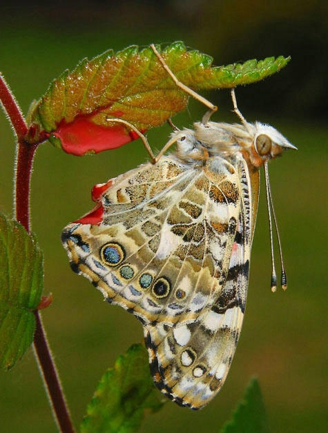 Newly Emerged Painted Lady