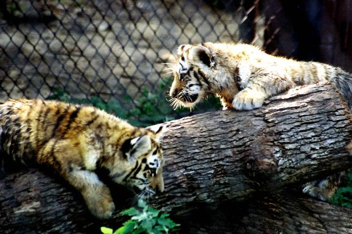 baby tiger at beardsley zoo