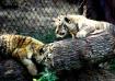baby tiger at bea...