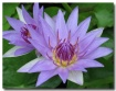 Waterlily # 2