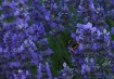 Pollen Sacs 1