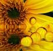 Sunflower Spore