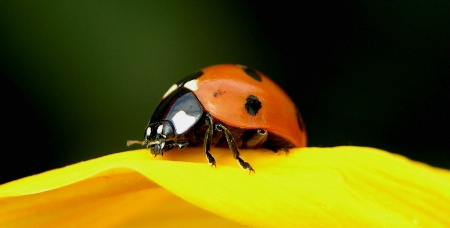 Ladybird with teeth.....