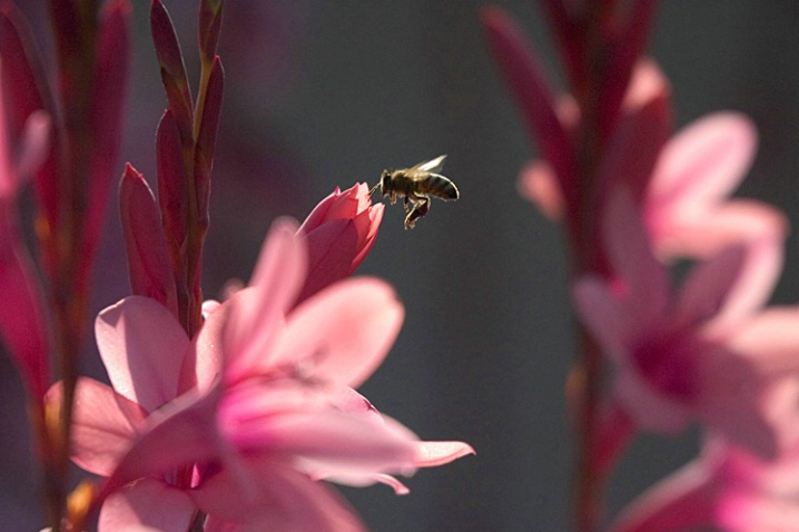 Pink Flowers and Bee - ID: 1235914 © Mary-Ella Bowles