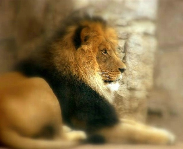 Lion of Judah - ID: 1240481 © Kay McDaniel