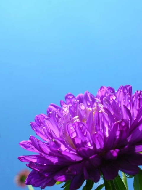 The violet flower talks about his summer