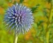 Purple Bud Abstra...