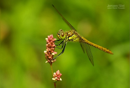Female Ruby Meadowhawk