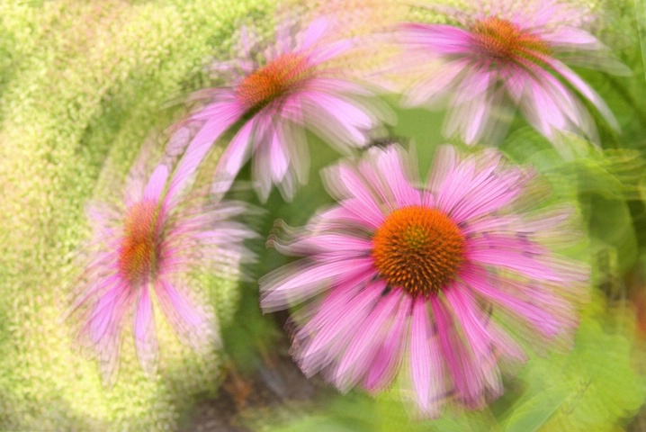 Cone Flower Spin