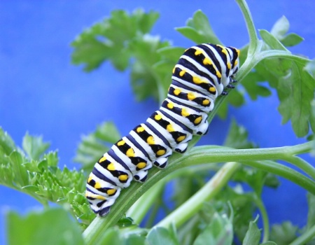 Blacktail swallowtail catepillar