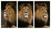 Lion Triptych