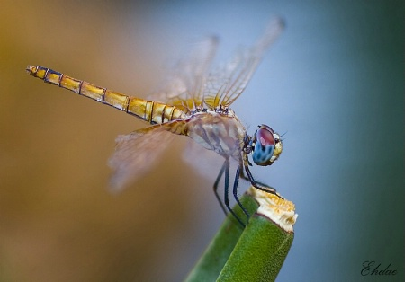 the colors of the dragon fly!